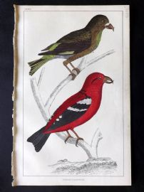 Goldsmith C1850 Hand Col Bird Print. American & White Winged Crossbill
